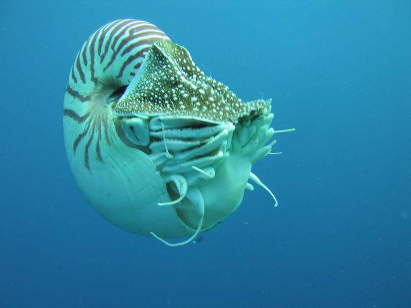 Nautilus_profile.jpg